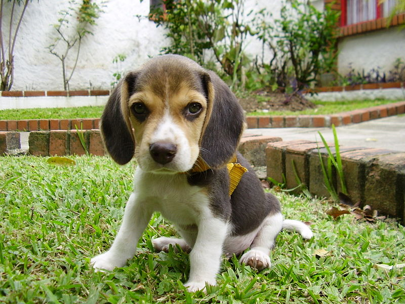 MIL ANUNCIOSCOM - Beagle adulto Compra-venta de