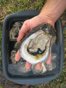 [Oyster1]