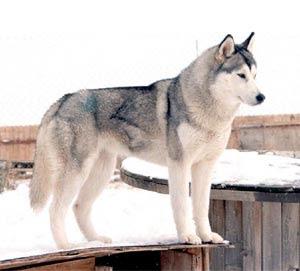 Imágenes de Perros Husky Siberianos