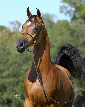An animal a day arabian horses - Arabian horse pictures ...