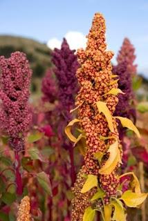 Pianta di quinoa