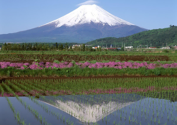 Mount Damavand reflection in rice paddies