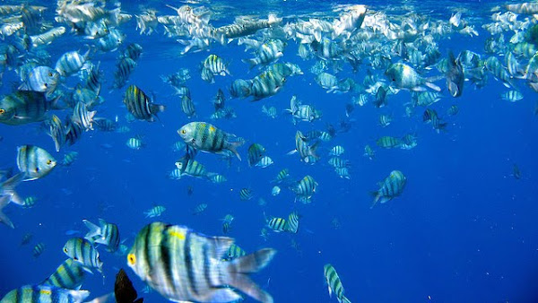 Fishes at Red Sea reef