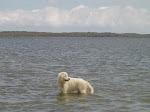 Caya - Maremma Sheepdog