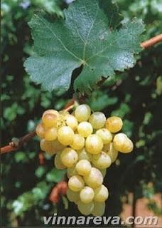 Vinná réva plíseň