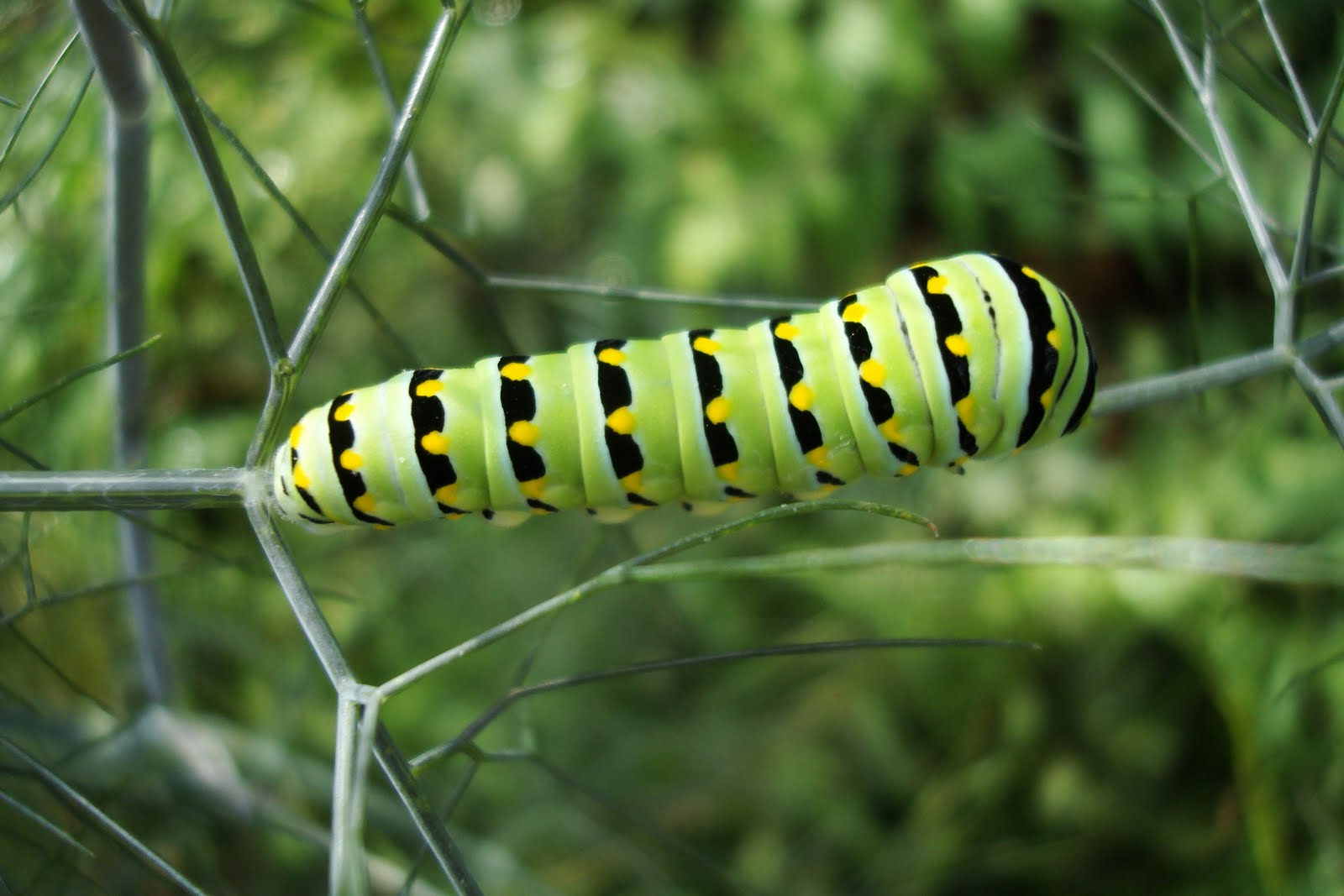 Flowers and Nature in my Garden: Black Swallowtail Caterpillar Black Swallowtail Caterpillar