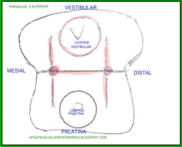 Características Anatómicas de los Dientes ~ Auxiliar de Odontología