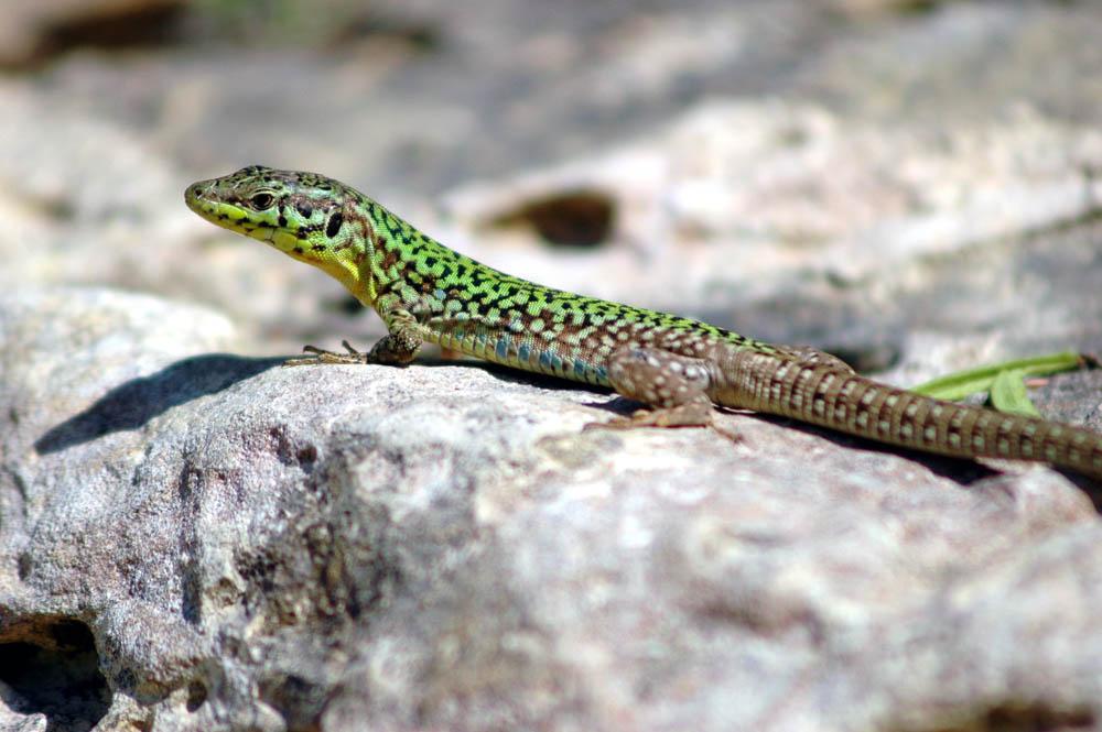 U S Lizard Lizards - Page ...