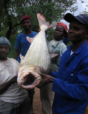 恐怖魚牙 牙巴拉魚