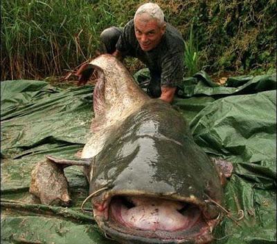 巨型魚怪 - 六須鲇魚 (Wels Catfish)