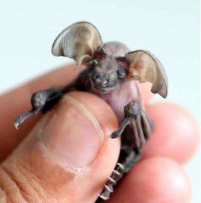 變種小精靈 小蝙蝠