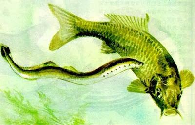 水中吸血鬼兩棲食人怪 七鰓鰻