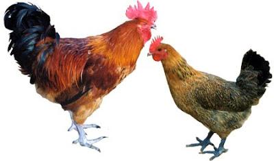 雞很狡猾 - 雞有自己的語言並很狡猾