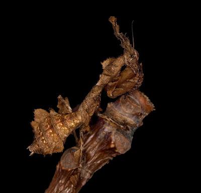 幽靈螳螂  - 幽靈螳螂 Phyllocrania paradoxa
