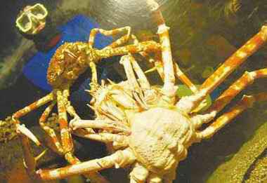 巨型殺人蟹 - 巨型蜘蛛蟹 又稱 巨型殺人蟹