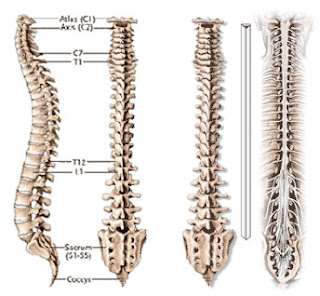 drawing of the spine