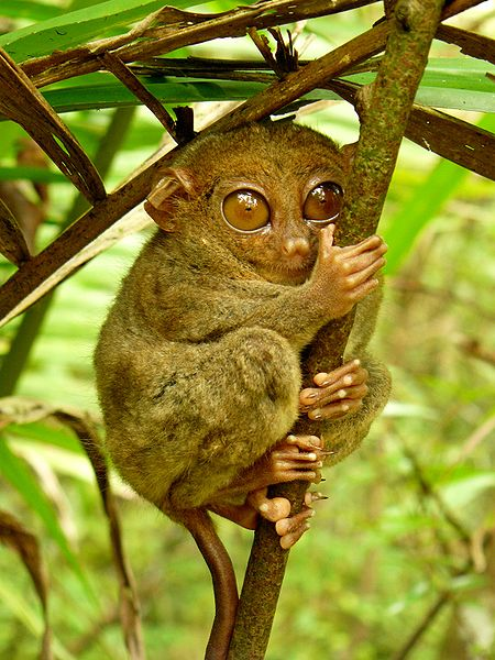 some of the worlds' smallest primates Asian primates range in size from some of the world's smallest prosimians, to medium-sized monkeys, to very large orangutans asian apes include gibbons, humans, and orangutans.