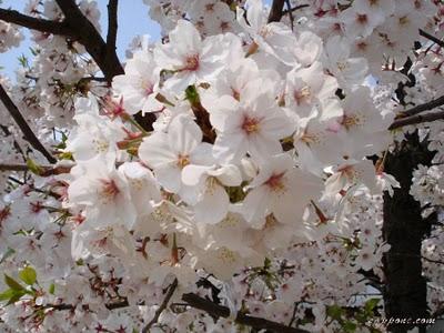 Sakura hanami❀