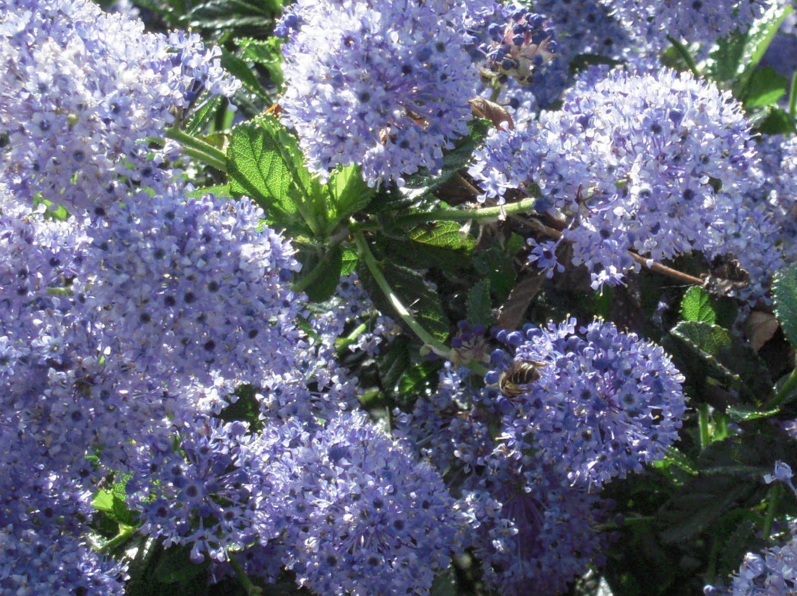 Hortus urbanus may blooms sunday may 16 2010 izmirmasajfo Images