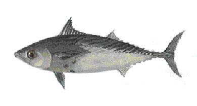 Eastern little tuna - photo#7