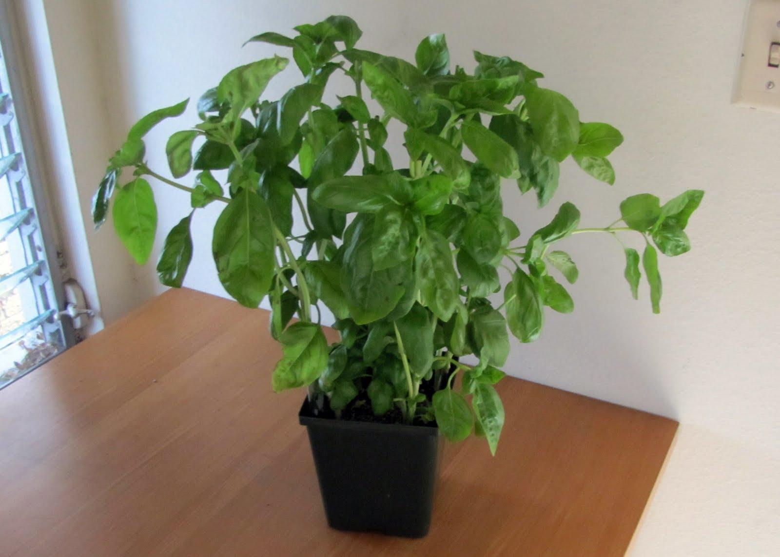 smells like food in here fresh basil plant