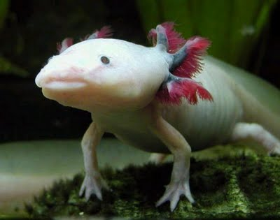 Greeneration axolotl strange fish with legs from mexico for Water dog fish