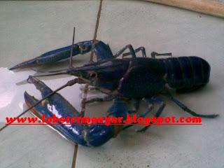 Udang Lobster Manyar Lobster Air Tawar Photo