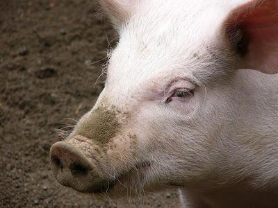 swine flu facts