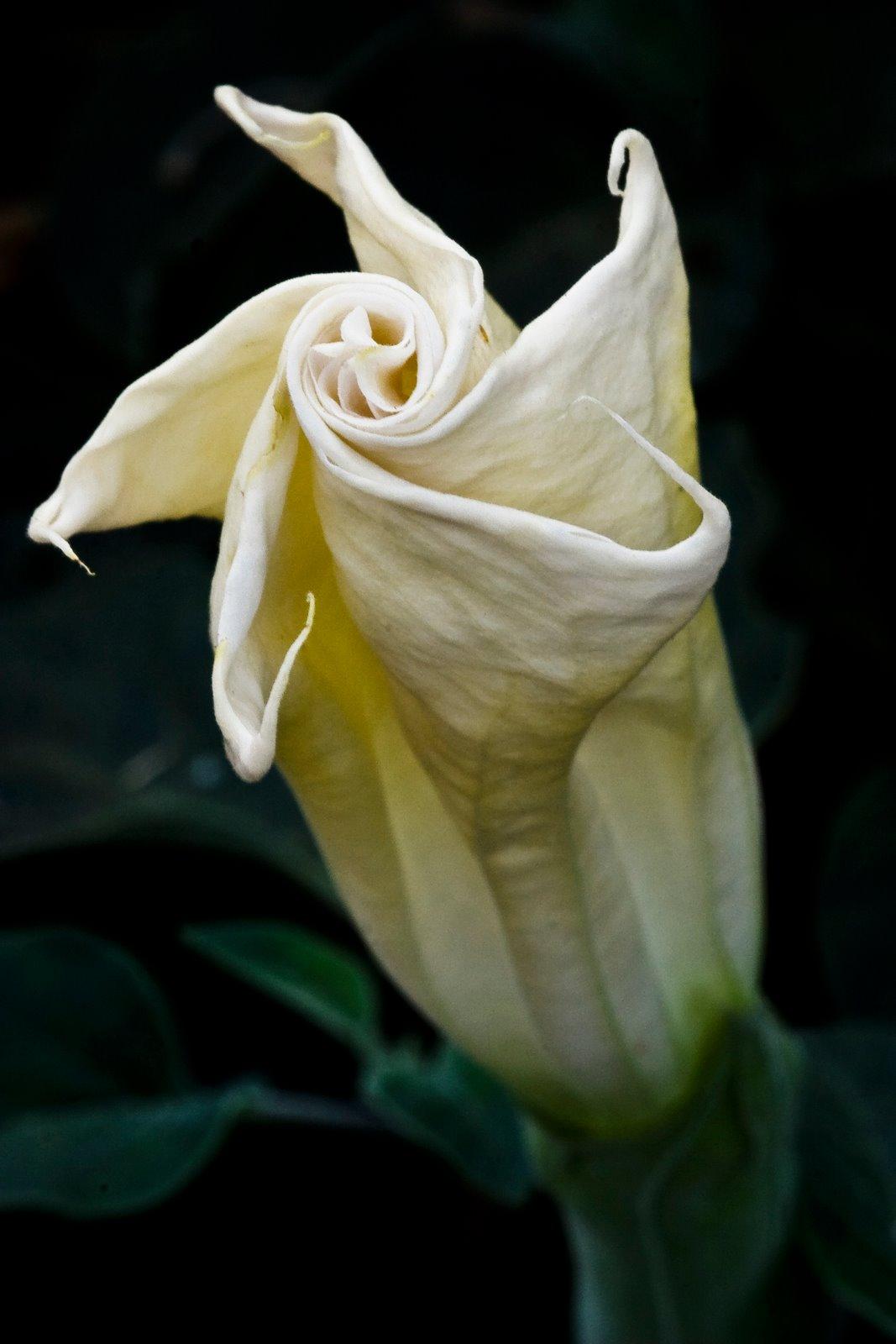 365 Days in Zion Day 298 July 20 2005 Angel Trumpet Flower