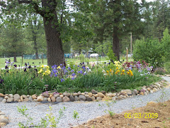 Front yard Iris bed is lovely at Randy's