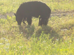 This bear was busy eating grass