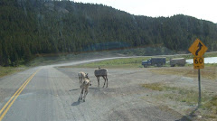 Young elk in the road in BC