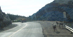 Mountain goats along the road