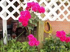 Roses this spring on the deck
