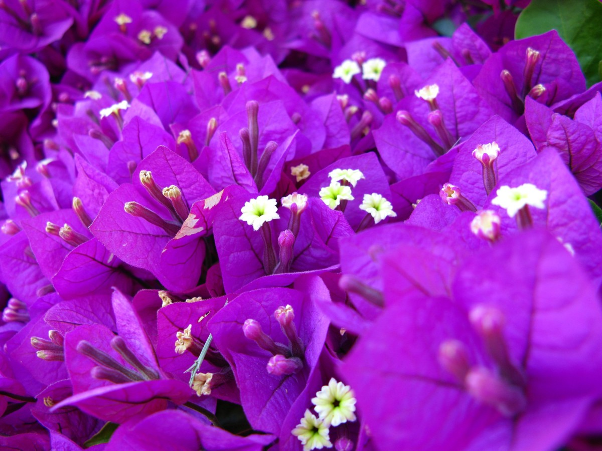 Purple Flowers Pictures