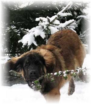 Etienne, leonberg dans la neige