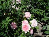 Роза в моем саду