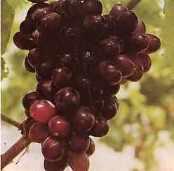http://2.bp.blogspot.com/_HltIdYdYqWw/TNNNP7uMcgI/AAAAAAAAAA0/0DUYvRKsqGA/s1600/Anggur.jpg