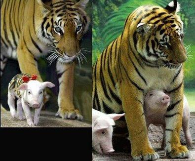 Repare Na Inoc  Ncia Do Tigre  Mal Sabia Ele O Risco Que Est