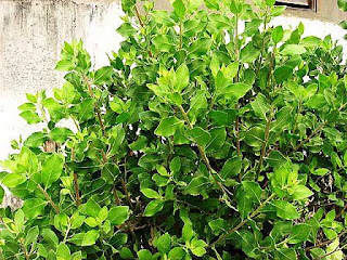 Usefulness beluntas (Pluchea indica )