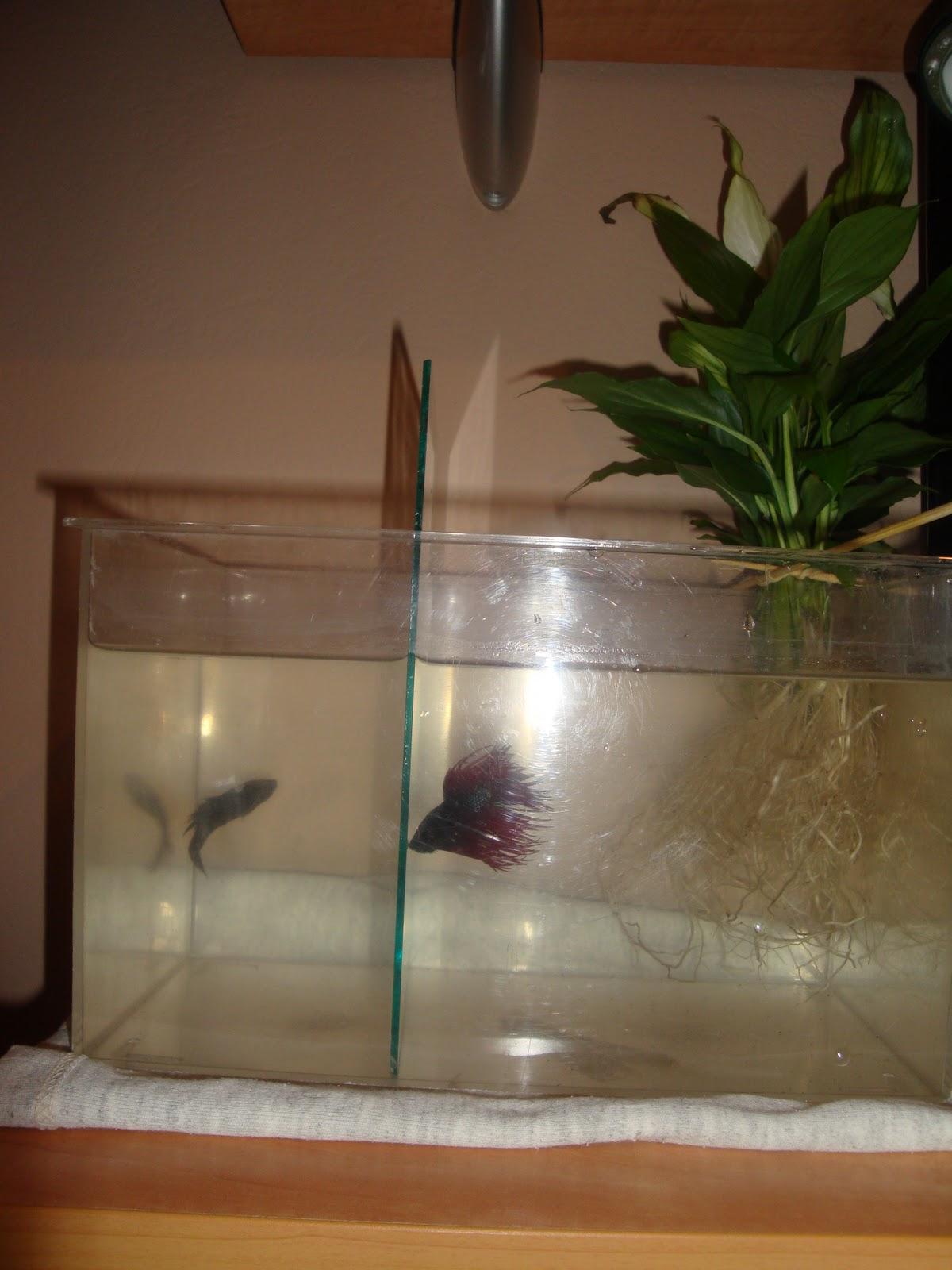Que hos parece la pecera para que se apareen mis bettas portalpez acuarios mascotas peces - Planta cuna de moises ...