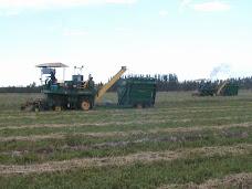 Cosecha alfalfa para silo