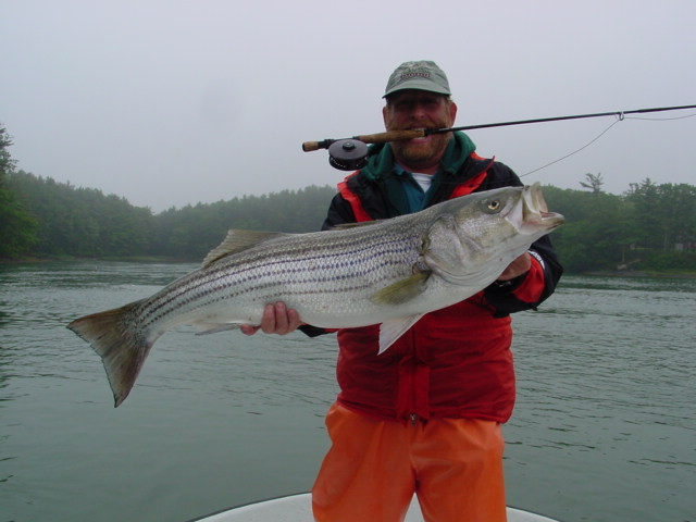 maine striped bass fishing big flies and big stripers on