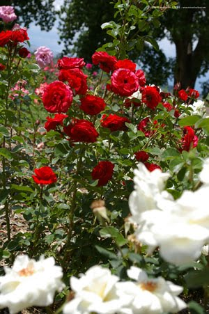 rose flower gardens beautiful roses