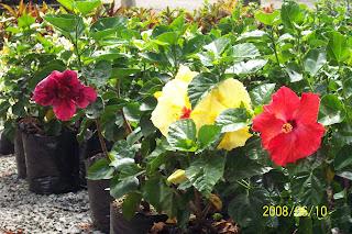 plantas plantas ornamentales de sol