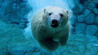 Bear swimming in ocen, snow water and bear swimming hd wallpapers, water bubbles from bear mouth