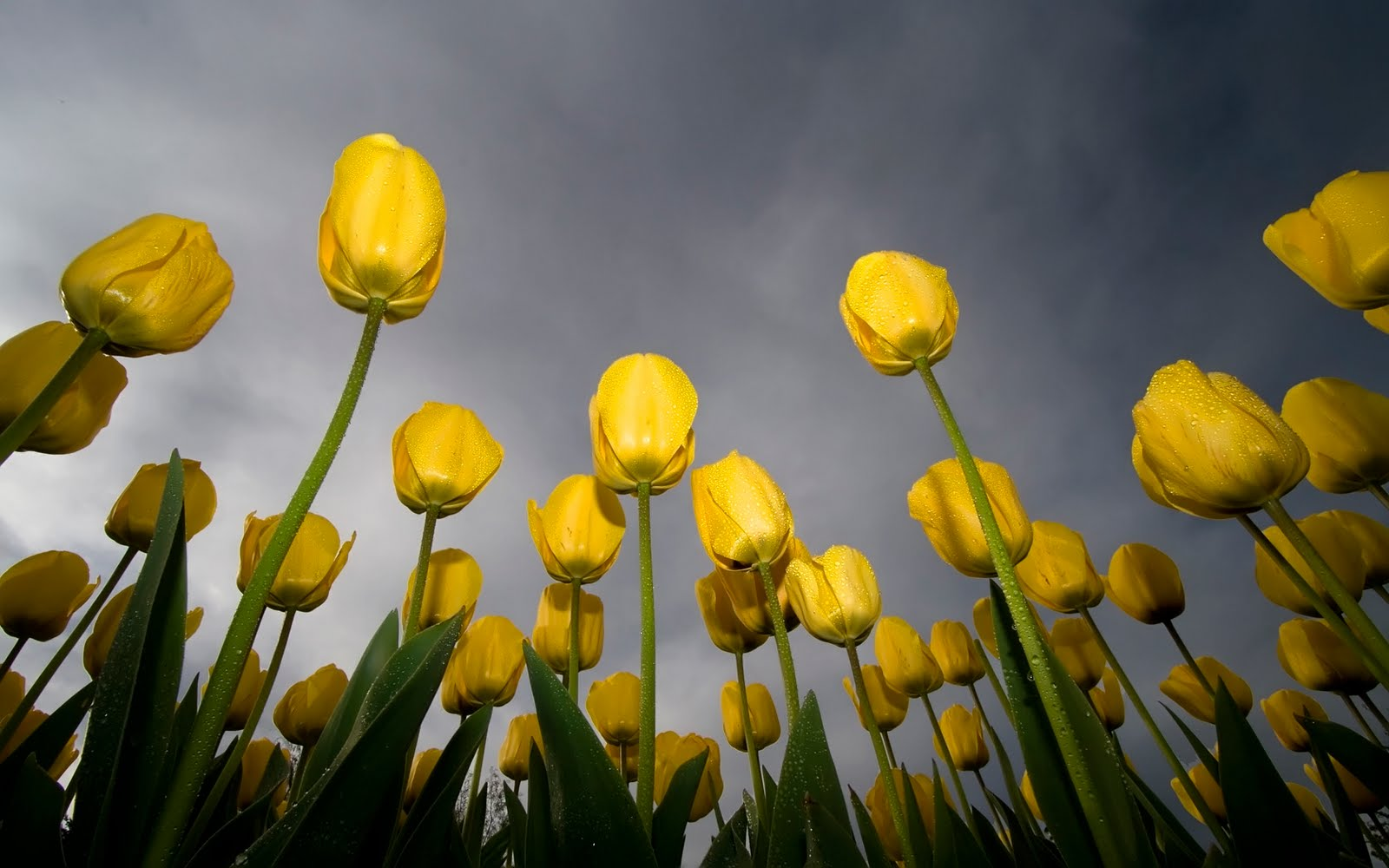 Two Wet Yellow Tulips HD Wallpaper Audi wallpapers
