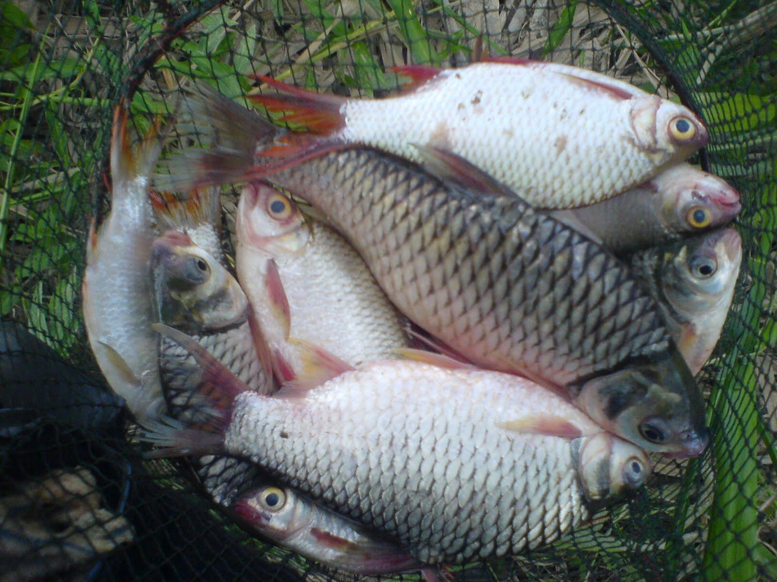 Edisi ikan lam