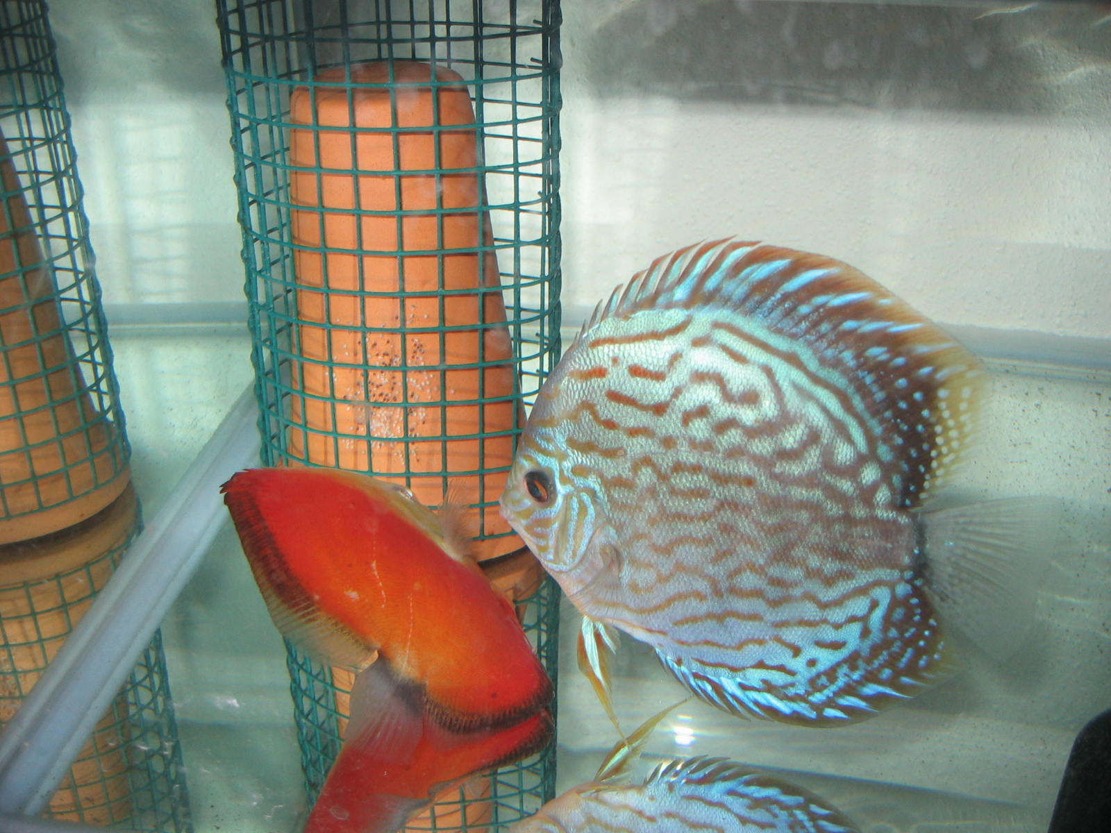 Discus fish breeding everything about spotted puffer for Fish breeding tank