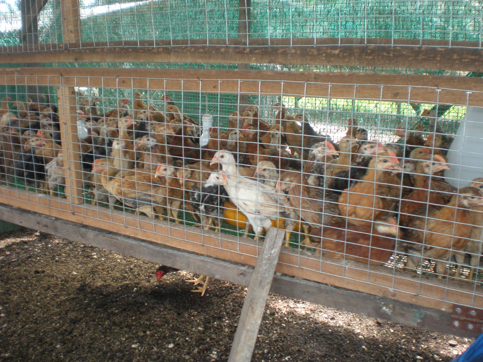 Anggerik Agro Farm Backyard Chicken June